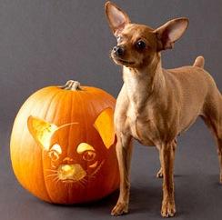 ChihuahuaPumpkin