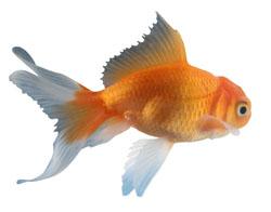 goldfishsm.jpg