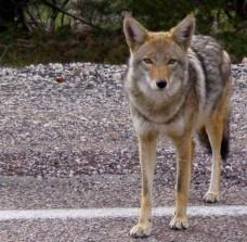 Coyote copy