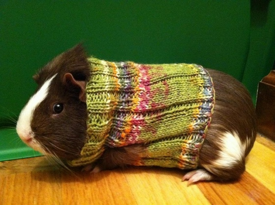 Knitting Patterns For Guinea Pig Clothes : DIY: Guinea Pig Sweaters   Pet Project