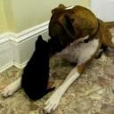 Friday Fun: Boxer Meets Kitten