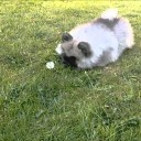 Friday Fun: Puppy + Dandelion = Play