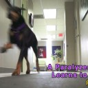 Paralyzed Doberman Learns To Walk Again